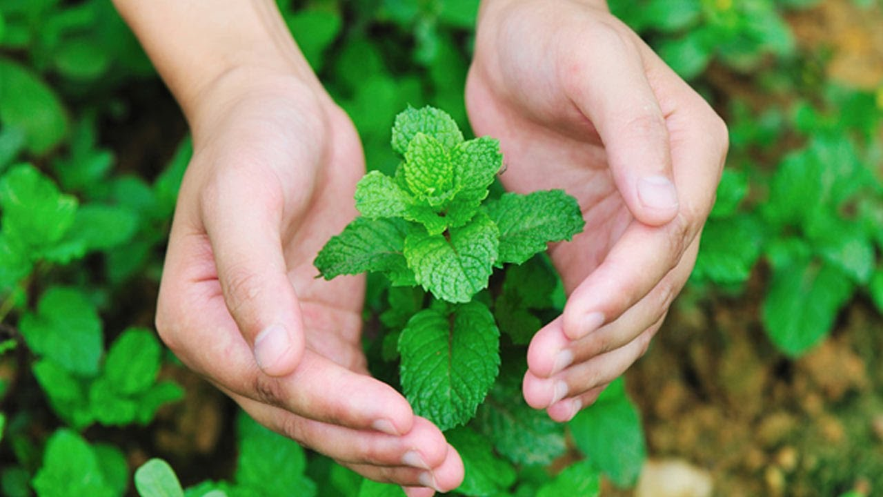 Uses of mint leaves as medicine