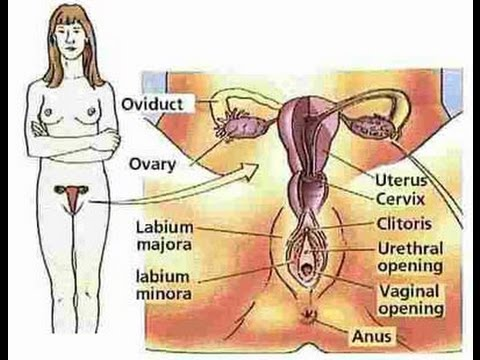 Female sex organs diagram